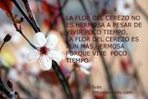 La flor del cerezo es hermosa