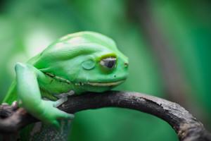 Una rana, por tanto un anfibio. Muy verde, eso sí.