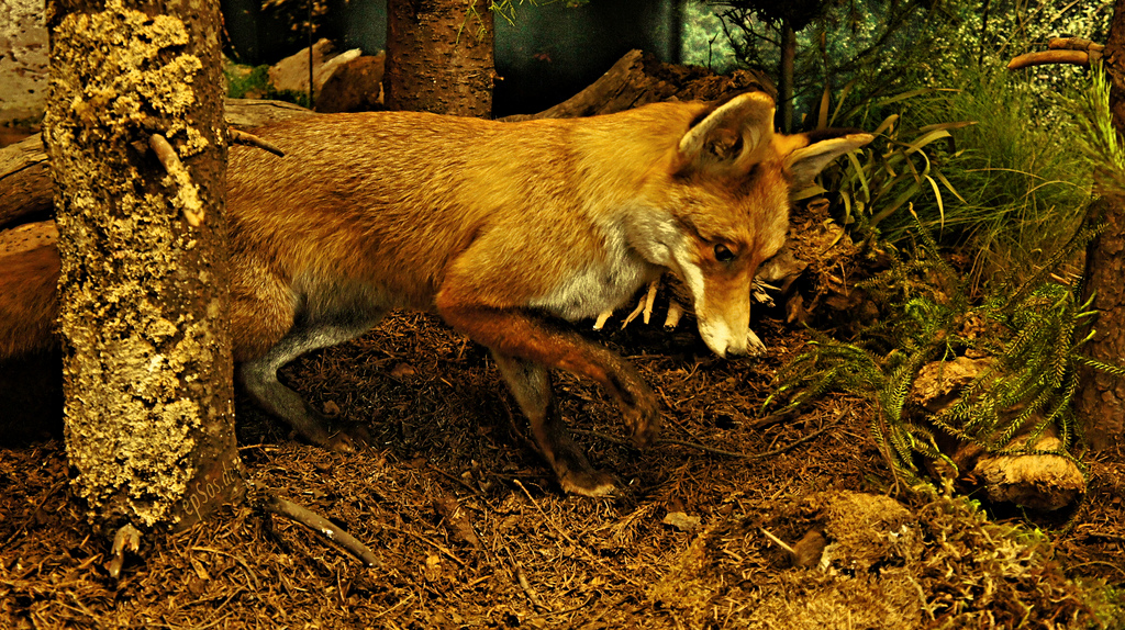 No lo puedo asegurar pero creo que este zorro está disecado.