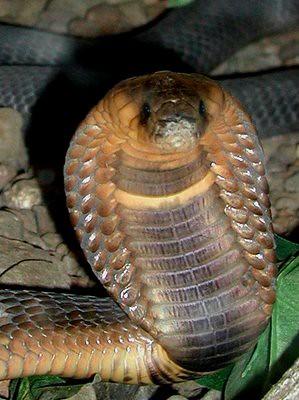 Efecto cobra